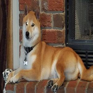 lost male dog max