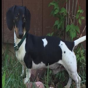 lost male dog murphy