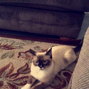 lost male cat milo