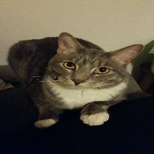 lost male cat toby