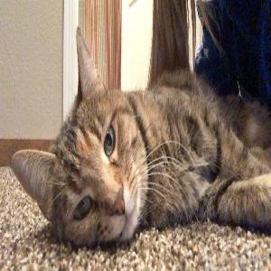 lost female cat bula