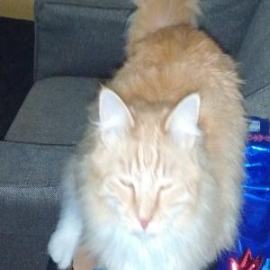 lost male cat galan