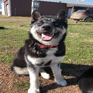 lost male dog koda