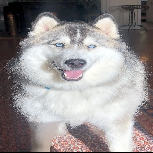 lost female dog luna