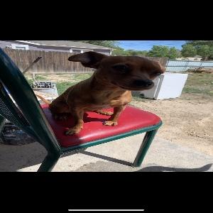 lost female dog brownie