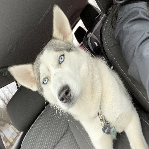 lost female dog koda