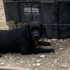lost female dog chula