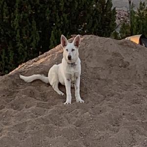 lost female dog hanna