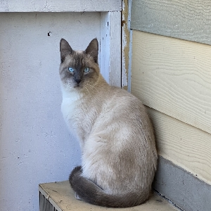 lost male cat chong