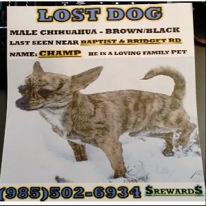 lost male dog champ