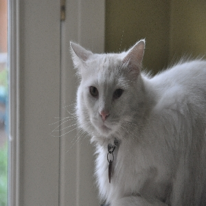 lost male cat snowball